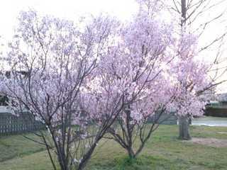130331身近な春②.jpg